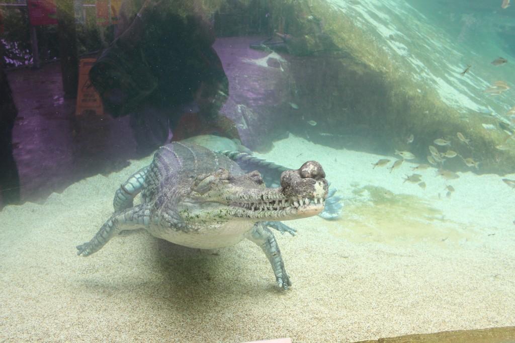 indian gharial 2