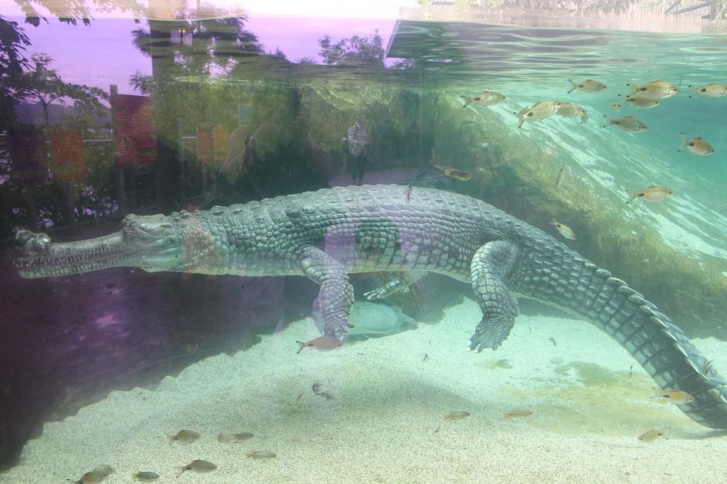 indian gharial 3