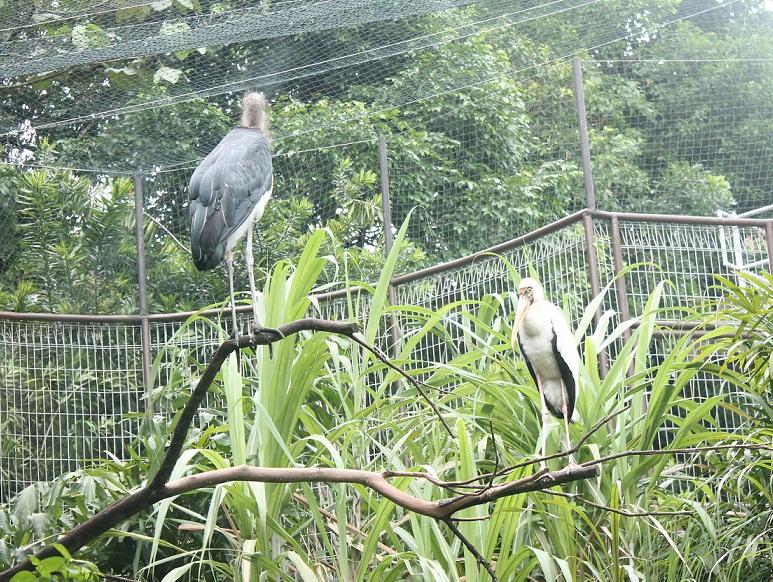 lesser adjutant stork 3