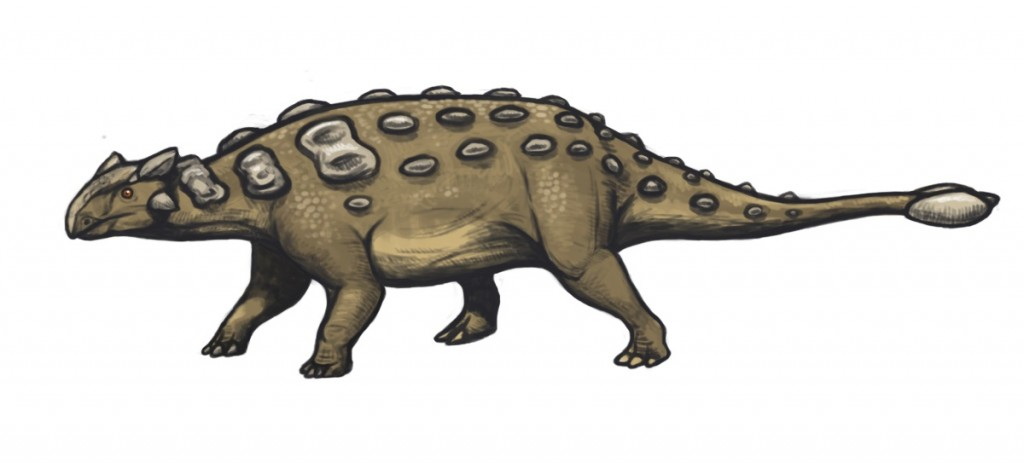 """Ankylosaurus magniventris reconstruction"" by Emily Willoughby (e.deinonychus@gmail.com, http://emilywilloughby.com) - Own work. Licensed under Creative Commons Attribution-Share Alike 3.0 via Wikimedia Commons"