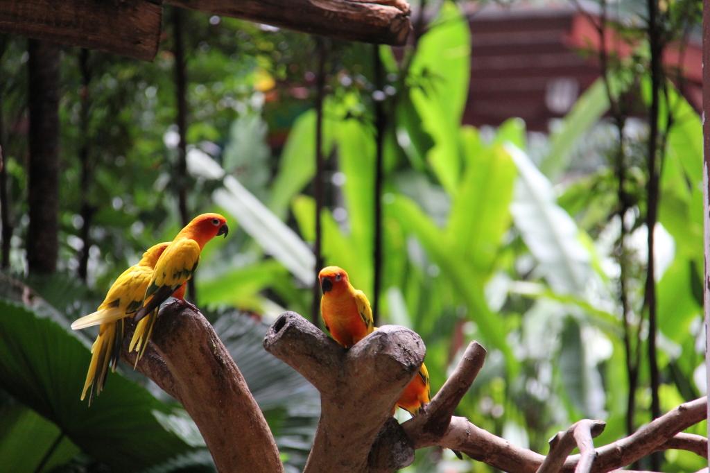 sun conure birds